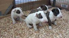 Gorgeous Bull Terrier puppies Available Image eClassifieds4U