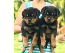 2 Male and female Rottweiler puppies