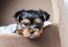 Adorable Yorkshire terrier puppies