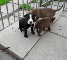American Pitt Bull Terrier pups