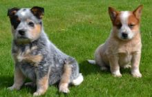 Australian Cattle Dog puppies for fast rehoming