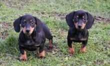 Awesome male and female Dachshund puppies for adoption