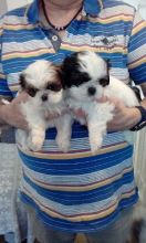 Beautiful Little Tri-Colored Shih Tzu Puppies