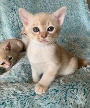 Burmese Kittens.