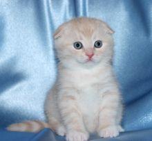 Cream British Short Haired kittens