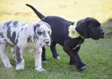 cute Great Dane puppies
