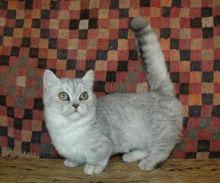 amazing munchkin kittens m/f