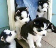 Home trained Siberian Husky puppies available.