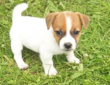 Jack Russell puppies.