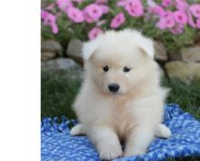KC registered Samoyed puppies available