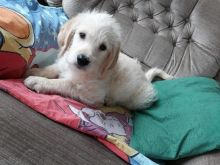 Labradoodle pups ready to be rehoming