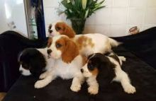 lovely and compassionate Cavalier king charles puppies