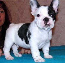 Male and female French Bulldog puppies