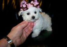 Male and female Maltipoo puppies