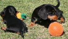 Male n Female Dachshund Puppies