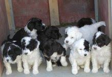 Portoguese puppies