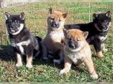 Purebred Shiba inu puppies