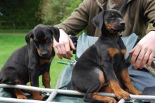 Registered Doberman puppies available.