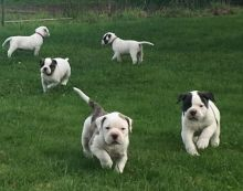 Stunning American Bulldog Puppies looking for knowledgeable 5* homes