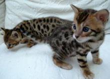 Two Savannah kittens
