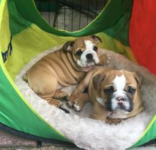 We have adorable English Bulldog male and female dogs,