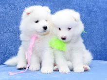 Well Trained Samoyed Puppies.