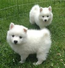 White American Eskimo Puppies ready