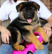 German Shepherd puppies Image eClassifieds4u 1