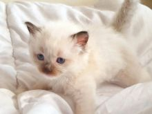 Rare Re Homing Ragdoll/ Kitten