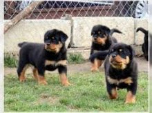 Beautiful Rottweiler puppies ready to leave immediately.