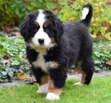 Bernese Mountain Dog puppie