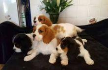 Cavalier king puppies