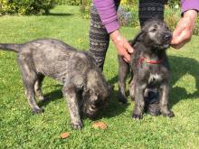 Charming Irish Wolfhound puppies available.