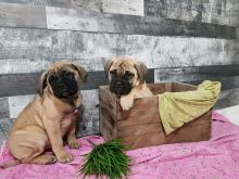 Charming male and female Bullmastiff pups for adoption.