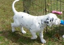 Family trained Dalmatian puppies available now.