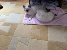 Male/Female Ragdoll Kittens For Sale kittens we are looking for a new home for them both