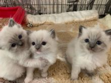 Male and Ragdoll kitten female