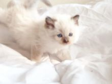 Ready go to new home Easter Time🐣🐥🐰😻Gorgrous Blue Ragdoll kittens the best Easter