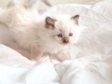 Lovely Female Full Pedigree Ragdoll Kitten Image eClassifieds4u 2