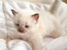 Lovely Female Full Pedigree Ragdoll Kitten Image eClassifieds4u 3