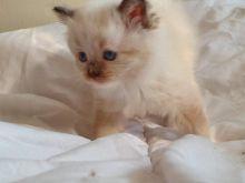 Lovely Female Full Pedigree Ragdoll Kitten Image eClassifieds4u 4