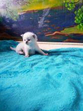 Ragdoll kittens/Our wonderful ragdoll ///beautiful litter of kittens, Image eClassifieds4u 3
