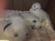 Beautiful Ragdoll kitten for adoption Blue Ragdoll kittens the best Easter Image eClassifieds4u 2