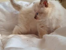 Male/Female Ragdoll Kittens For Sale Due To Developing Allergy 250 for both or 300 singly Image eClassifieds4u 2