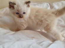 Male/Female Ragdoll Kittens For Sale Due To Developing Allergy 250 for both or 300 singly Image eClassifieds4u 3