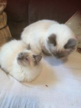 Male/Female Ragdoll Kittens For Sale Due To Developing Allergy 250 for both or 300 singly Image eClassifieds4u 4