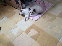 Male/Female Ragdoll Kittens For Sale kittens we are looking for a new home for them both Image eClassifieds4u 2