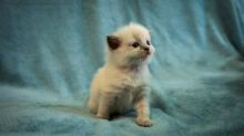 Ready go to new home Easter Time🐣🐥🐰😻Gorgrous Blue Ragdoll kittens the best Easter Image eClassifieds4u 2