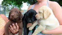 Labrador Retriever pups Available Yellow ,white, black & chocolate