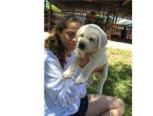 Baby Labrador Retriever puppies for adoption